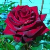 Чайно-гибридная роза Фиджи Негро (Fidji Negro)