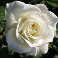 Чайно-гибридная роза Маруся (Maroussia)