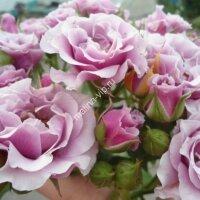 Кустовая роза Санта Барбара (Santa Barbara)