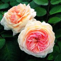 Кустовая роза Э Шропши Лэд (A Shropshire Lad)