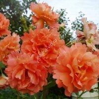 Плетистая роза Вестерлэнд (Westerland)