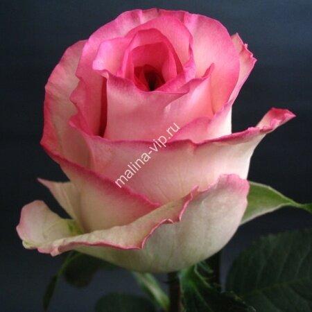 Чайно-гибридная роза Дольче Вита (Dolce Vita)