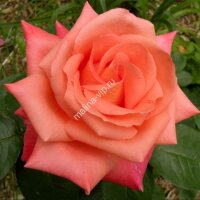 Чайно-гибридная роза Фольклор (Folklor)