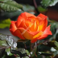 Флорибунда роза Самба Пати (Samba Party)