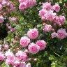 Плетистая роза Розовый Жемчуг (Pink Pearls)
