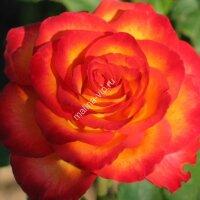 Флорибунда роза Ред Голд (Red Gold)