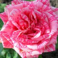 Чайно-гибридная роза Пинк Интуишн (Pink Intuition)