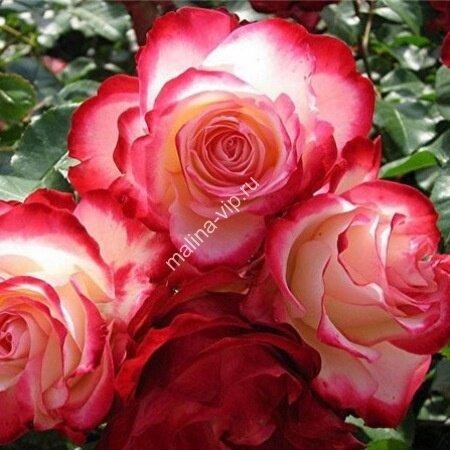 Плетистая роза Хендель (Handel)