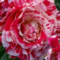 Плетистая роза Фердинанд Пичард (Ferdinand Pichard)