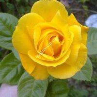 Флорибунда роза Артур Белл (Arthur Bell)