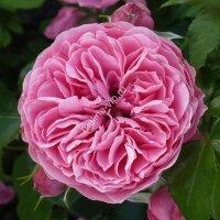 Флорибунда роза Леонардо да Винчи (Leonardo da Vinci)