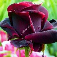 Кустовая роза Черный принц (Black Prince)