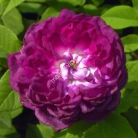 Кустовая роза Кардинал Де Ришелье (Cardinal De Richelieu)