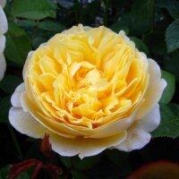 Кустовая роза Шарлотта (Charlotte)