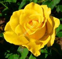 Плетистая роза Клайминг Голдиз (Climbing Golddie's)