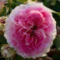 Плетистая роза Цезарь (Cesar)