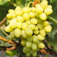 Виноград «Восторг»