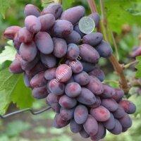 Виноград «Эталон»