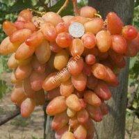 Виноград «Диксон»