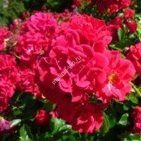 Почвопокрывная роза Хеллоу (Hello)