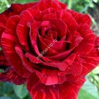 Чайно-гибридная роза Ред Интуишн (Red Intuition)