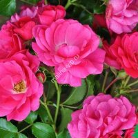 Почвопокрывная роза Флауер Карпет (Flower Carpet)