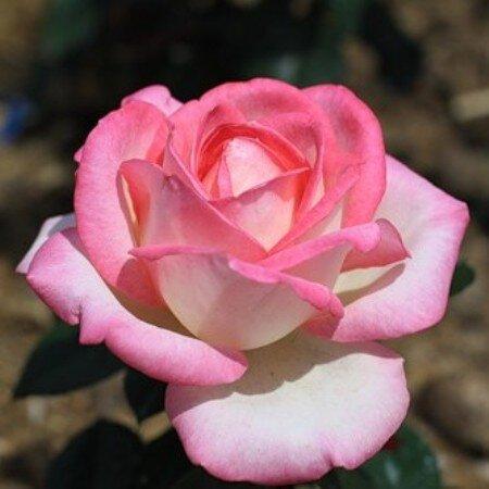 Чайно-гибридная роза Невеста (Bride)