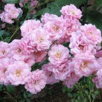 Почвопокрывная роза Фэйри (The Fairy)