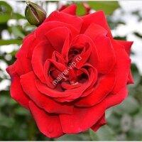 Плетистая роза Сантана (SANTANA)