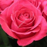 Чайно-гибридная роза Пинк Флоид (PINK FLOYD)
