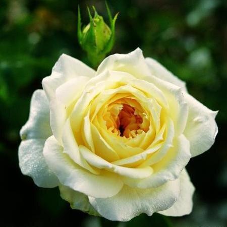 Чайно-гибридная роза Сальвадор (Salvador)