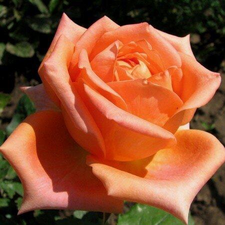 Чайно-гибридная роза Эльдорадо (Eldorado)