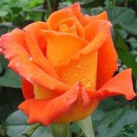 Чайно-гибридная роза Моника (Monika)