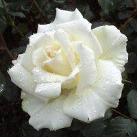 Чайно-гибридная роза Белый Медведь (White Bear)