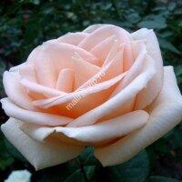Чайно-гибридная роза Осиана (Osiana)