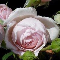 Чайно-гибридная роза Алёнушка (Alenushka)