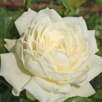 Плетистая роза Аляска (Alaska)