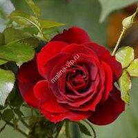 Плетистая роза Фарука (Farruca)