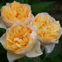 Плетистая роза Золотое Руно (Golden Fleece)