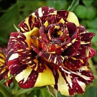 Чайно-гибридная роза Aбракадабра (Abracadabra)