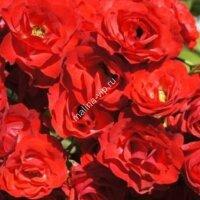 Почвопокрывная роза Скарлет Мейяндекор (Red Fairy)