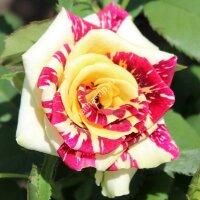 Чайно-гибридная роза Сим Салабим (Simsalabim)