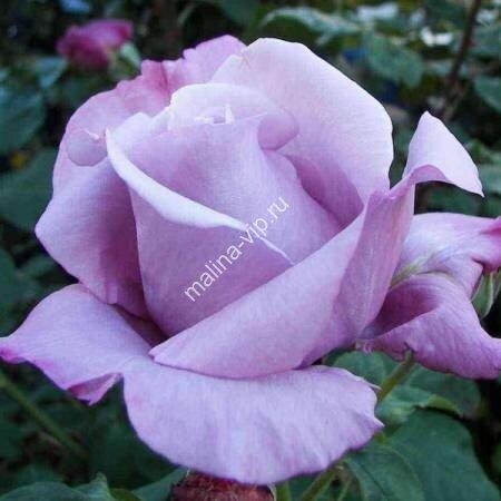 Чайно-гибридная роза Голубой Нил (Blue Nile)
