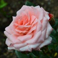 Флорибунда роза Лидия Лавли (Lydia Lovely)