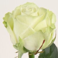 Чайно-гибридная роза Аваланж (Avalanche)