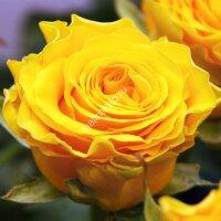Чайно-гибридная роза Сфинкс (Sphinx)