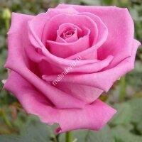 Чайно-гибридная роза Аква (Aqua)