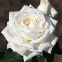 Чайно-гибридная роза Боинг (Boeing)