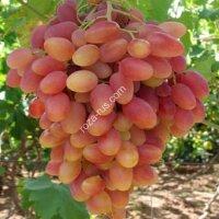 Виноград «Виктор»