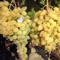 Виноград «Долгожданный»